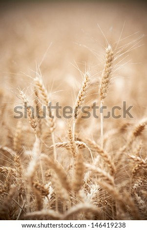 Close-up of ripe wheat grain crop ears harvesting machine combine working at wheat or rye grain crop field - stock photo