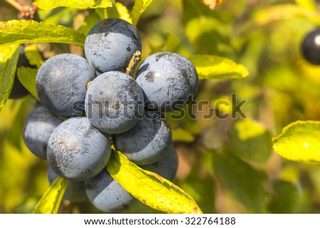 Close up of ripe wild sloes in an English hedgerow often steeped in gin to produce a delicious liqueur - stock photo