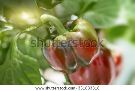 Close Up of Ripening Capsicum Pepper Fruit Used to Make Paprika Growing on Plant in Garden with Bright Sunlight Sunburst Illuminating from Behind - stock photo
