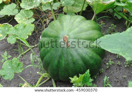 close-up of ripening pumpkin in the field