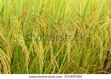 close up of ripening rice in a paddy field - stock photo