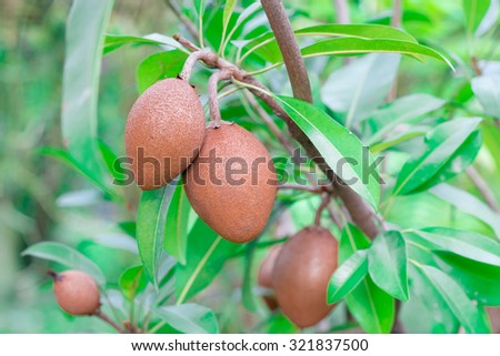Close up of Ripening Sapodilla fruits on tree, in an organic garden - stock photo