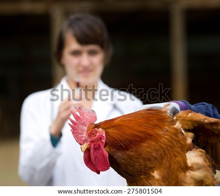 Close up of rooster waiting for vaccine from veterinarian - stock photo