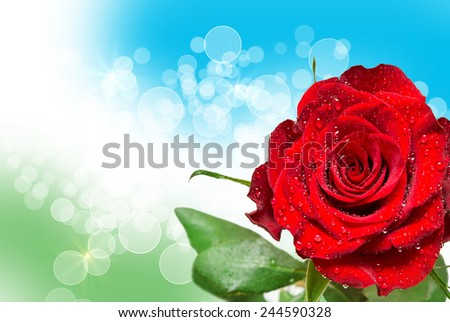 Close up of rose flower - stock photo