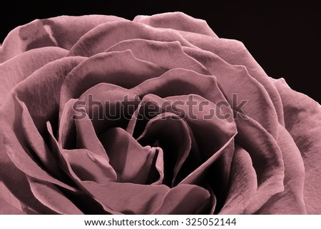 Close up of Rose pedals isolated on background - stock photo