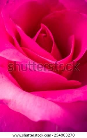 Close up of rose petal - stock photo