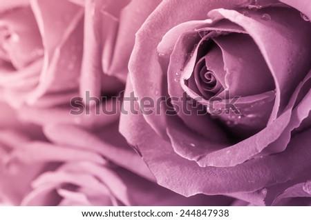 Close up of rose petal, valentine background - stock photo
