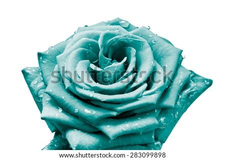 close up of rose petals - stock photo
