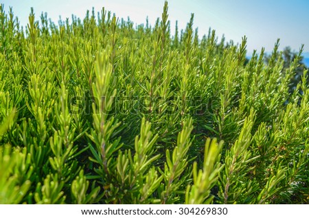 Close up of rosemary bush in sunlight - stock photo