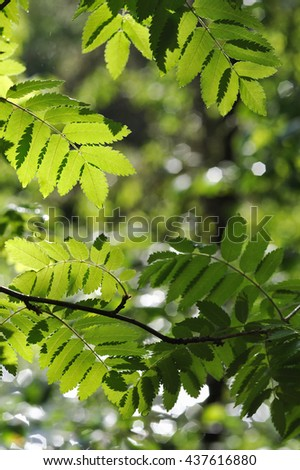Close up of rowan tree leaves in taiga forest.