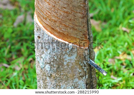 close up of rubber tree being tapped.