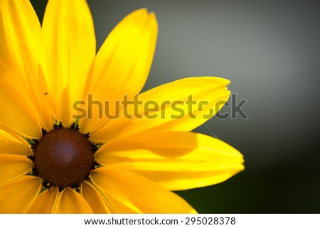 Close up of Rudbeckia hirta flower, Asteraceae spp, kwnon as Black-eyed Susan. - stock photo