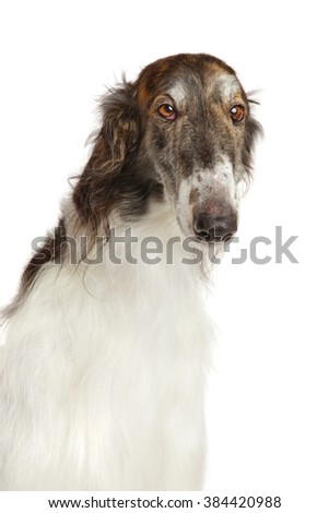 Close-up of Russian borzoi dog on white background