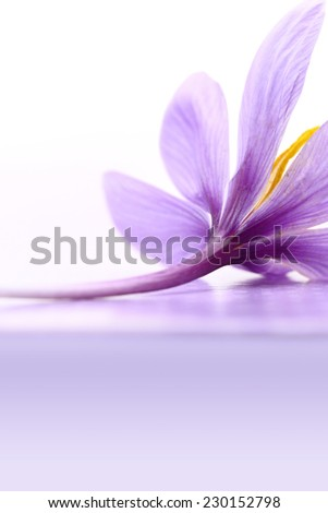 Close up of saffron flower - stock photo