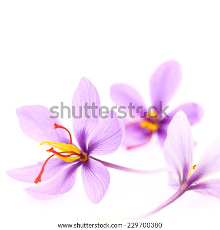 Close up of saffron flowers isolated on white background  - stock photo