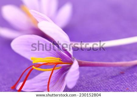 Close up of saffron flowers on purple background - stock photo
