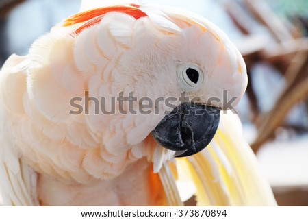 Close-up of salmon-crested cockatoo - Soft Focus - stock photo
