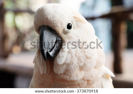 Close-up of salmon-crested cockatoo - Soft Focus