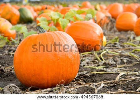 Close up of scattered pumpkins at the pumpkin patch