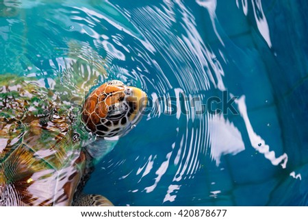 Close up of sea turtle swimming in pool.