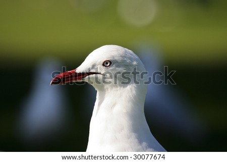 Close up of Seagull head