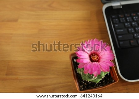 Close up of selective cactus flower in pink form is blooming in pot, put on the brown wooden working table with blurred background of laptop. Space for text