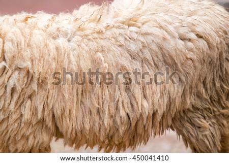 Close-up of Sheep fur - stock photo