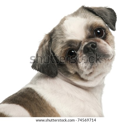 Close-up of Shih Tzu, 8 years old, in front of white background