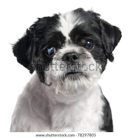 Close-up of Shih Tzu, 4 years old, in front of white background - stock photo