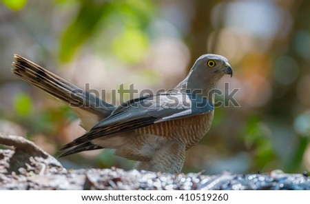 Close up of  Shikra (Accipiter badius) in real nature in Thailand - stock photo