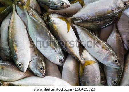 Close up of short mackerel or shortbodied mackerel (Rastrelliger brachysoma), fresh from sea