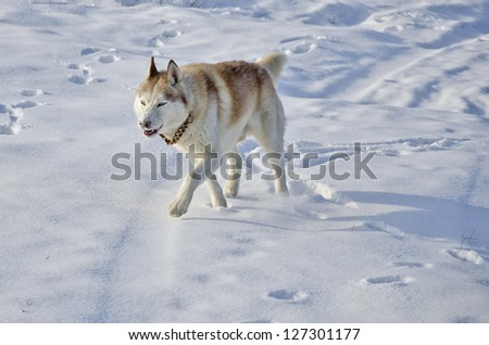 Close up of siberian husky in a snow field