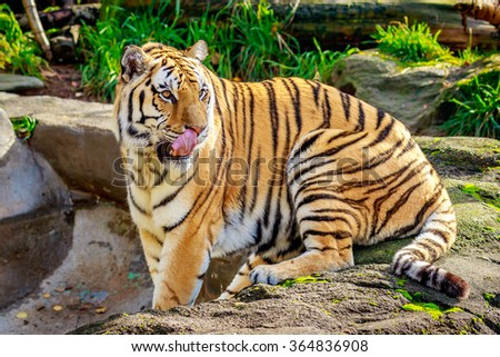 Close-up of Siberian tiger, also known as Amur Tiger (Panthera tigris altaica).