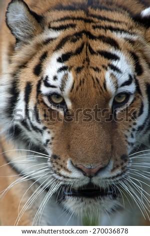 Close up of Siberian Tiger face/Amur Tiger/Siberian Tiger (Panthera Tigris Altaica) - stock photo