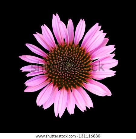 Close up of single fresh cone flower on black background - stock photo