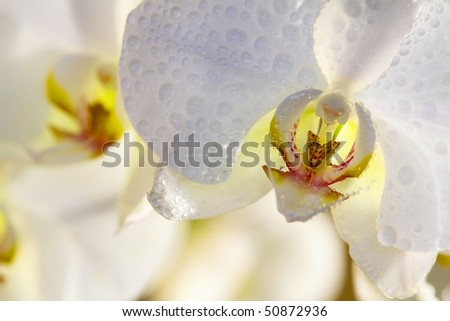 Close up of single orchid flowers with drops on petals