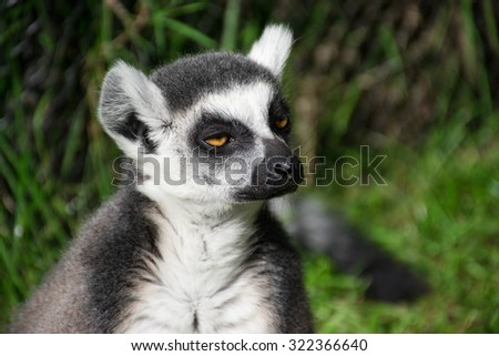 Close-up of sleepy ring-tailed lemur - stock photo