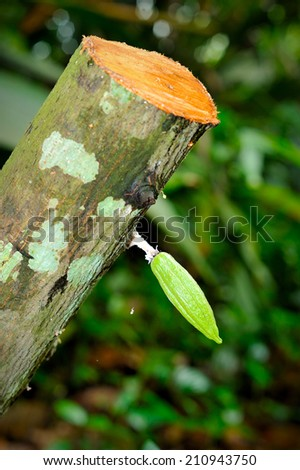 Close up of small cacao fruits, selective focus.  - stock photo