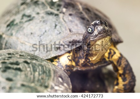 Close up of small carnivorous turtle