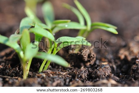 close up of small seedlings in soil