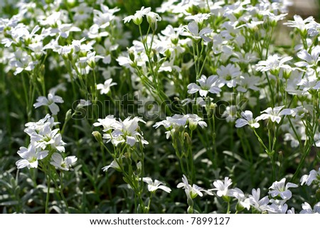 Close up of small white flowers in garden. - stock photo