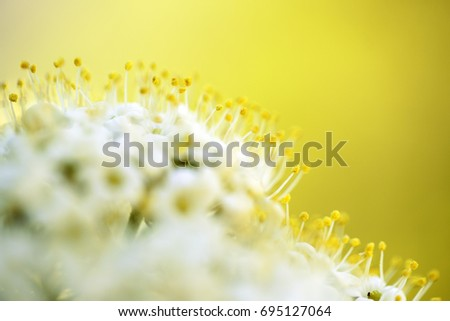 Close up of small white flowers on Flowering Tree in Spring on a sunny day