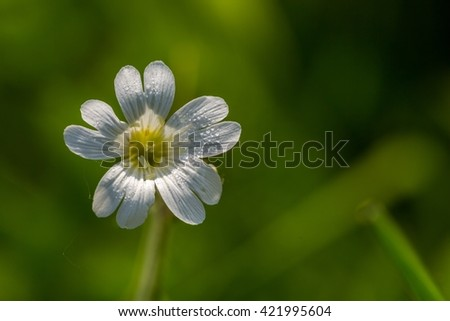 Close up of small white wildflower growing on meadow. Wild flower in morning light - stock photo