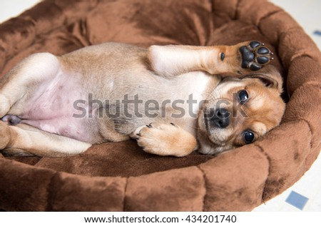 Close Up of Small Young Terrier Mix Puppy Rolling on Back in Brown Plush Dog Bed - stock photo