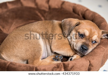 Close Up of Small Young Terrier Mix Puppy Sleeping in Brown Plush Dog Bed