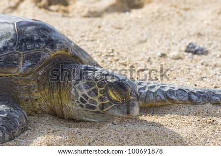 Close Up of smaller Green Sea Turtle on The Beach in Hawaii