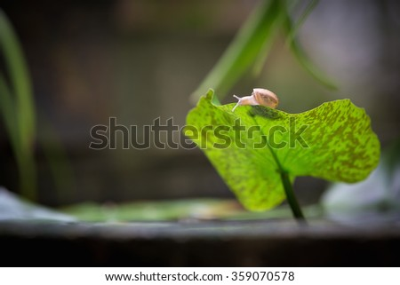 Close up of snail on lotus leaf