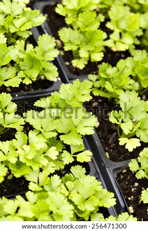 Close up of some celery plants in their young stage. Shallow depth of field. - stock photo
