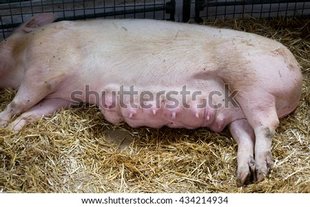 Close up of sow's breast after piglets suckling. Swine lying on straw - stock photo