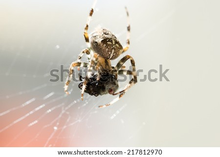 Close Up of Spider with Caught Prey in Web. - stock photo
